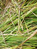 Paddy plants after harvest in Indonesia Stock Photo