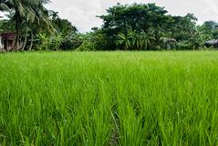 Paddy production Royalty Free Stock Photo