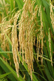 Paddy rice. Golden paddy rice waiting to be harvested royalty free stock image