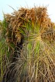 Paddy rice Royalty Free Stock Photo