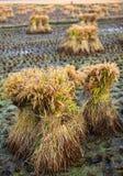 Paddy rice Royalty Free Stock Image