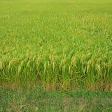 paddy rice Stock Image