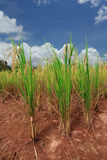 Paddy rice Stock Image