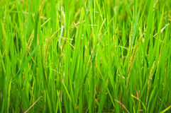 Paddy Rice Stock Photos