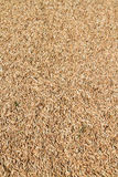 Paddy Rice Imagens de Stock Royalty Free