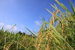 Paddy Rice Royaltyfri Foto