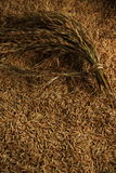 Paddy Rice Immagine Stock
