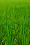 Paddy Rice Stock Afbeelding