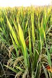 Paddy Rice Stockbild