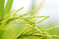 Paddy rice Royalty Free Stock Photos