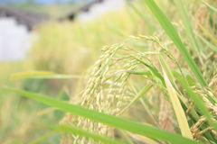 Paddy Rice Fotografia Stock