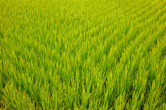Paddy Rice Lizenzfreies Stockfoto