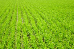 Paddy rice. Background of the paddy rice stock photo
