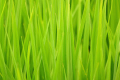 Paddy rice. Background of the paddy rice royalty free stock photography