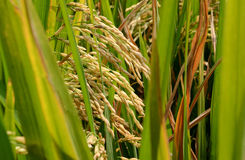 Paddy rice. Stock Image