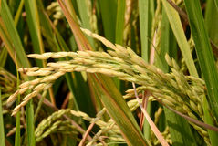 Paddy rice. Royalty Free Stock Photos