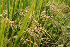 Paddy rice. Stock Photo