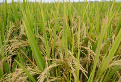 Paddy rice. Stock Image