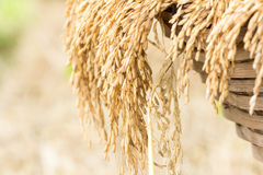 Paddy rice. Close up of paddy rice Royalty Free Stock Photos