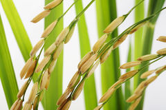 Paddy rice Stock Photo