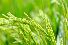 Paddy rice close up Royalty Free Stock Image