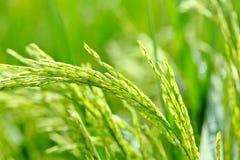 Paddy rice close up Royalty Free Stock Image