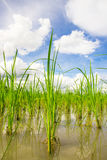 Paddy rice. Close up of young paddy field Royalty Free Stock Image