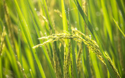 Paddy rice crop. Close up shot of paddy rice crop with drops Stock Image