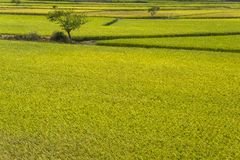 Paddy. Rice crop soon to be harvest stock photography