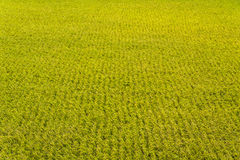 Paddy. Rice crop soon to be harvest royalty free stock images
