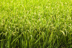 Paddy. Rice crop soon to be harvest stock images