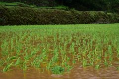 Paddy Rice cultivation.. Little bridge  water, green, soil stock photo