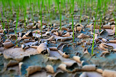 Paddy rice in  drought. Stock Images