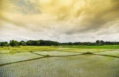 Paddy Rice fält Royaltyfri Foto