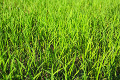 Paddy rice farm Royalty Free Stock Photos