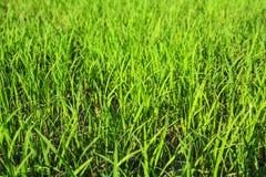 Paddy rice farm Royalty Free Stock Photos
