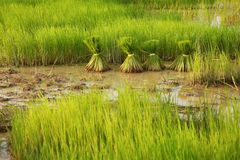 The paddy rice farmland Royalty Free Stock Image