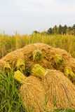 Paddy rice in fiel Stock Photos
