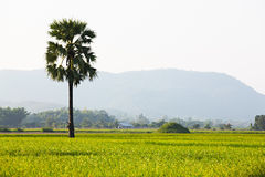 Paddy Rice Field Royalty Free Stock Photo
