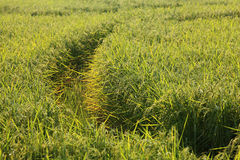 Paddy Rice Field Stock Image