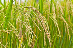 Paddy rice in field Stock Images