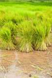 Paddy rice in field Stock Image