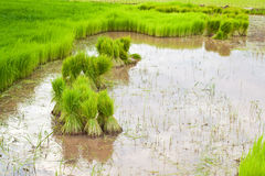 Paddy rice in field Stock Photo
