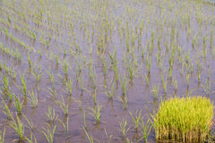 Paddy rice field. A rice paddy field with stems ready for planting Royalty Free Stock Image