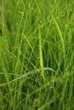 Paddy rice field Royalty Free Stock Photography
