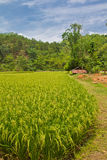 Paddy rice field Stock Photos