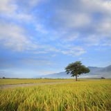 Paddy Rice Field Image stock