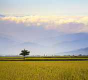 Paddy Rice Field Images stock