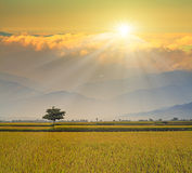Paddy Rice Field Photo libre de droits