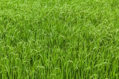 Paddy rice field Royalty Free Stock Images